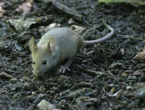 pictures of mice pictures of mice animal photos