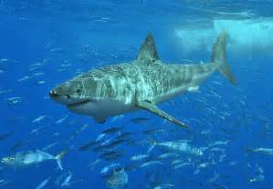 Carpet Layers Melbourne by Worlds Biggest Great White Shark Images Wallpapers