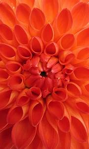 Orange Flower HD Android Wallpaper for Mobile