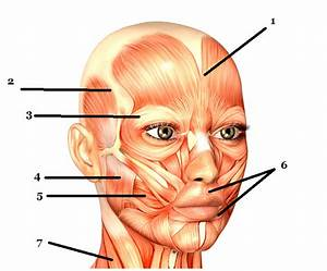 Label Major Muscles Of Face And Head Quiz