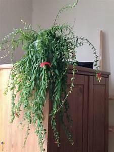 Plante Intérieur Grimpante : plante retombante photo plante d 39 int rieur tombante fleurs roses plantes retombantes ~ Louise-bijoux.com Idées de Décoration