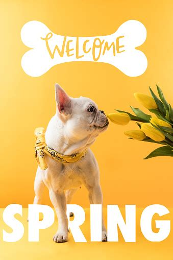 French Bulldog Dog And Yellow Tulips With Welcome Spring ...