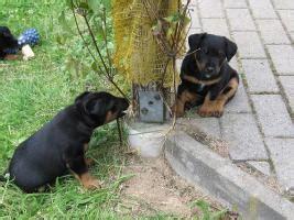 deutsche jagdterrier welpen zu verkaufen  soritz