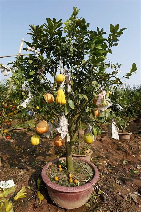 The Garden Of Fivefruit Trees In Hanoi  News Vietnamnet