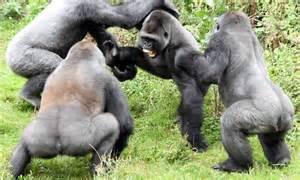 devon schoolboy captures moment gorillas fight  battle