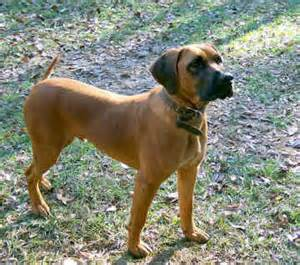 blackmouth cur natural history
