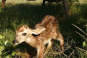 White Tailed Deer Fawns Spring Season Is Fawning Season