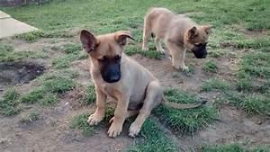 Belgian Shepherd Malinois puppy (LAST ONE) | Leicester ...