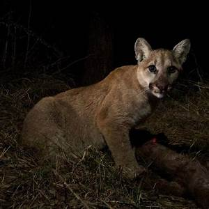 Wildlife Camera Captures Cougar Cubs and Their Mom Feeding ...