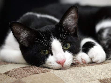 black and white cat black white cat cats photo 1889901 fanpop