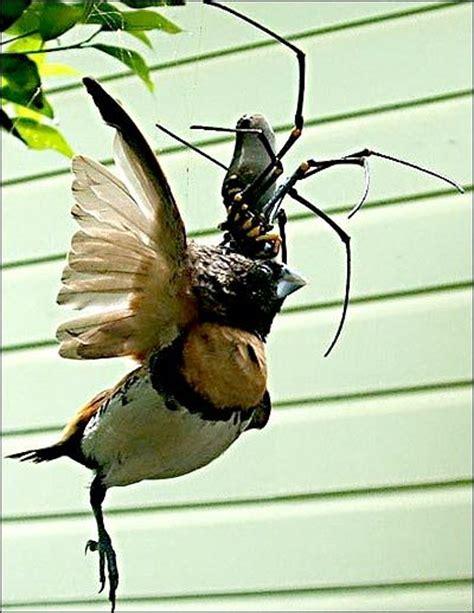 praying mantis catches and eats hummingbird entophile