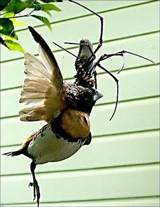 Praying mantis catches and eats hummingbird | Entophile