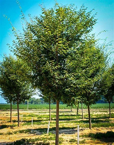 buy zelkova trees online the tree center
