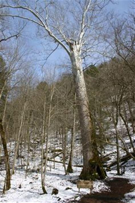 lumber jacks logging  big tree   west virginia