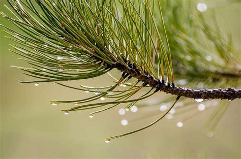 picture nature pine tree conifer plant dew