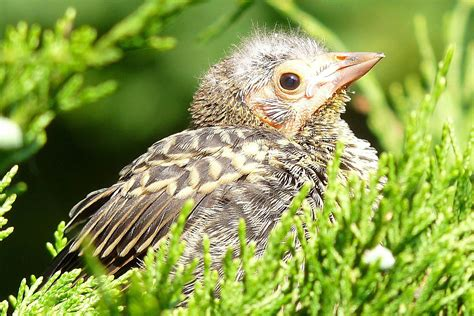baby birds baby bird identification tips and tricks