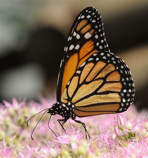 monarch wiktionary