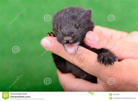 black animal mink royalty  stock images image