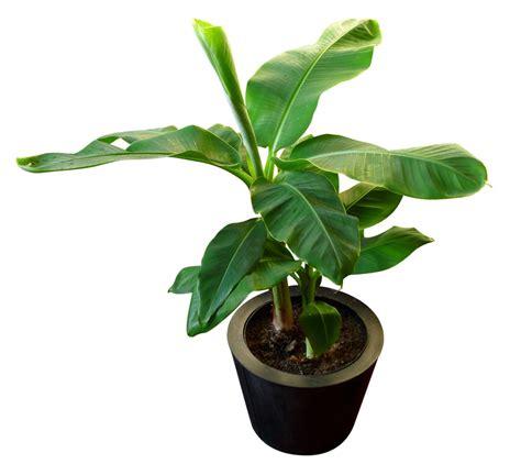 bananier en pot