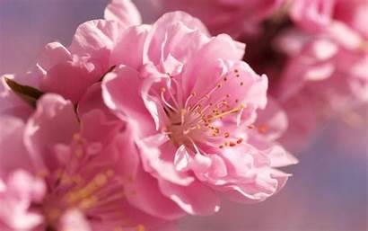 Blossom Cherry Nature Blossoms Flowers Sakura Desktop