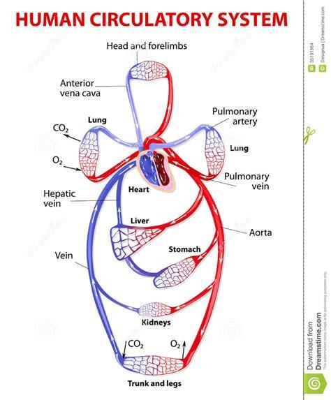 respiratory and circulatory system worksheet human