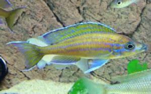 14 best fish from Lake Tanganyika – The fish doctor