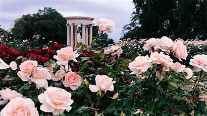 Garden Rose Email Flowers Flower Wattpad Aesthetic