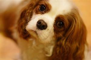 Top 10 Small Quiet Dog Breeds