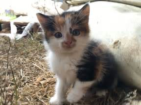 calico cats calico cat