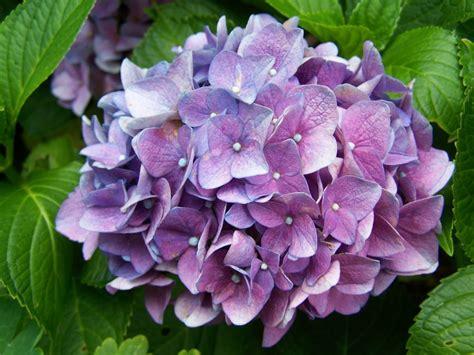 Hortensien Pflege Leicht Gemacht  Garten Mix