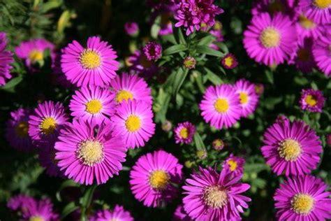 Astern Pflanzen Und Pflegen by Neubelgische Aster Pflanz Und Pflege