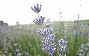 Lavendel Sorten übersicht : provence lavendel 39 julien 39 pflanze lavandula x intermedia lavendel duftpflanzen ~ Eleganceandgraceweddings.com Haus und Dekorationen