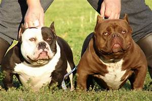 Why Most Breeders Love American Bully Pocket? American ...