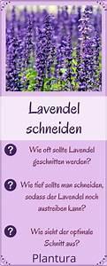 Lavendel Wann Schneiden : lavendel schneiden wann und wie zur ckschneiden levendula garden container gardening s ~ One.caynefoto.club Haus und Dekorationen