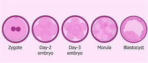 Differences between human 'zygote', 'embryo' and 'fetus'