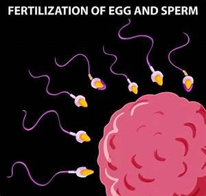Egg And Sperm Fertilization | www.pixshark.com - Images ...
