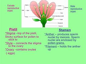Diagram Of The Reproductive System Of A Flowering Plant ...