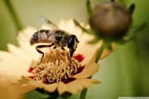 honey bee  hd desktop wallpaper   ultra hd tv wide ultra widescreen displays tablet