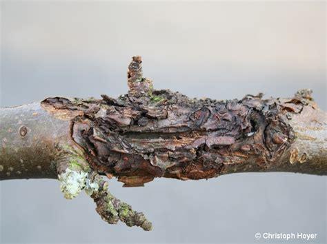 obstbaumkrebs regierungspraesidium giessen