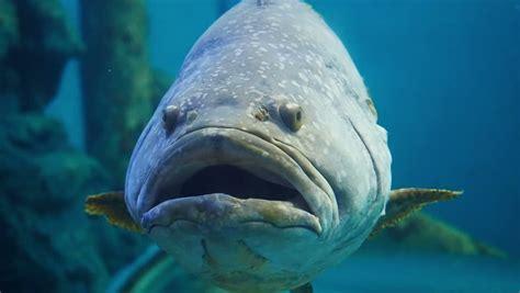 fish grouper queensland giant mini hd ugly minor shutterstock clip hardtop refresh detroit convertible