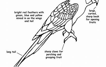 Macaw Coloring Pages Parrot Printable Scarlet Getcolorings