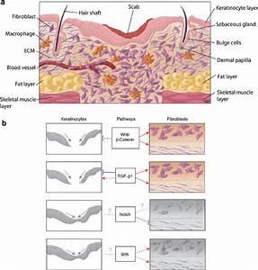 Proliferative Phase Of Murine Cutaneous Wound Healing  A
