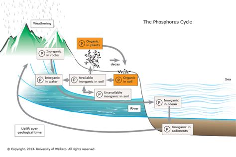 Phosphoru Cycle Diagram Pdf by What Are The Steps Of The Phosphorus Cycle Socratic