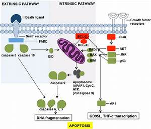 Apoptosis Pathway  Schematic Picture Of Extrinsic And
