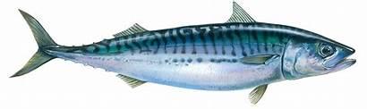 Atlantic Mackerel Fish Makarel Ikan Ocean Spanish