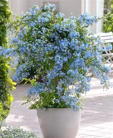 blue flowers  grow  containers balcony garden web
