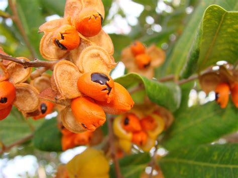 Small Black Fruit Wrapped In Orange This Tree Is A