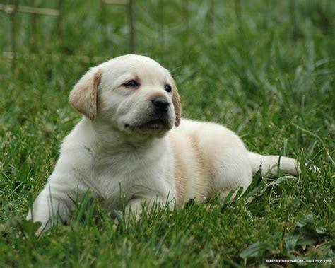 cute puppy dogs white labrador retriever puppies