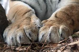 Tiger Paws - Michelle Cross