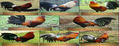 Jenis ayam ini masuk ke indonesia setelah beredarnya ayam permainan sabung taji pisau sendiri tak hanya populer di indonesia. ayam: Ayam Philipin Jenis Lemon